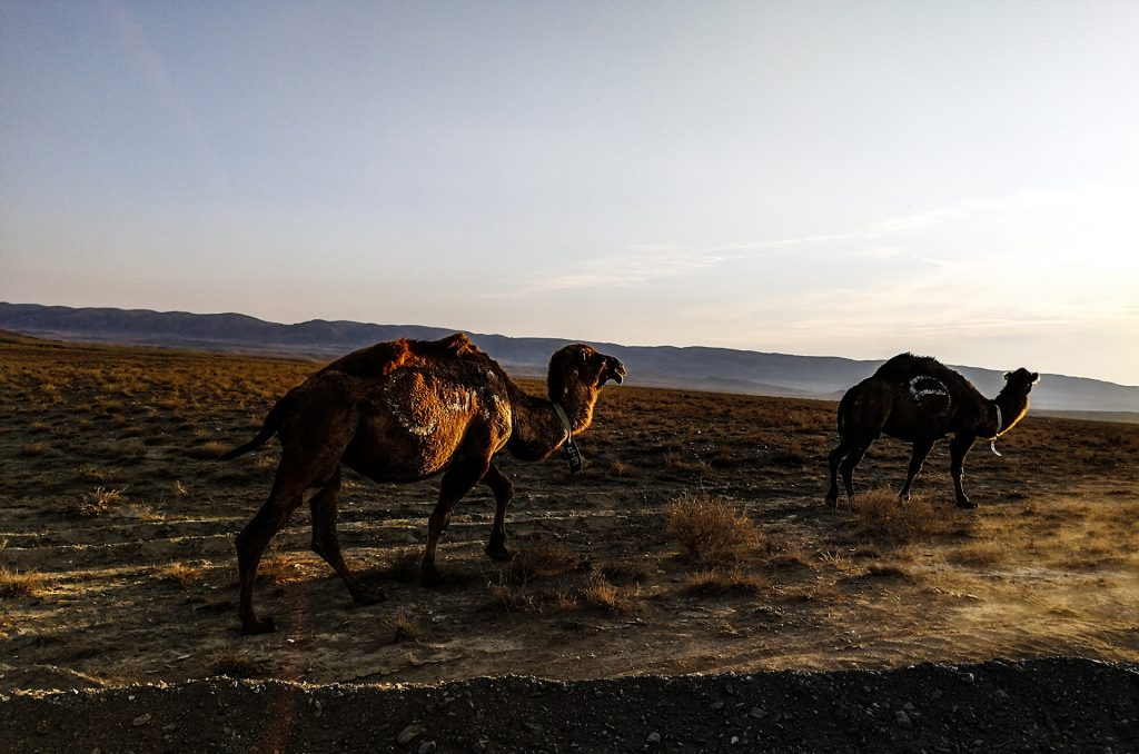 Верблюды в Казахстане